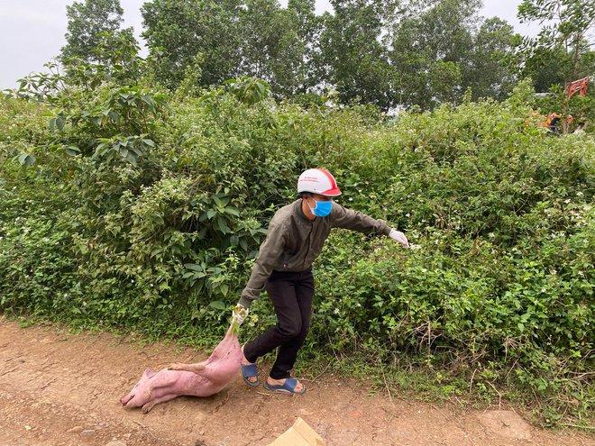 Đàn lợn cả trăm con bị kẻ lạ vứt lại giữa đường ở Nghệ An  - Ảnh 2.