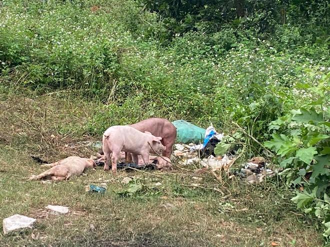 Đàn lợn cả trăm con bị kẻ lạ vứt lại giữa đường ở Nghệ An  - Ảnh 1.