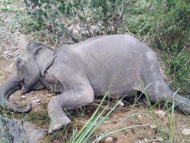 Con voi cuối cùng ở Bắc Tây Nguyên đã chết - Ảnh 1.
