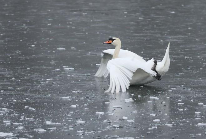 24h qua ảnh: Thiên nga trượt trên mặt hồ đóng băng ở Anh - Ảnh 3.