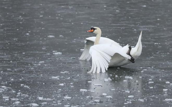 24h qua ảnh: Thiên nga trượt trên mặt hồ đóng băng ở Anh