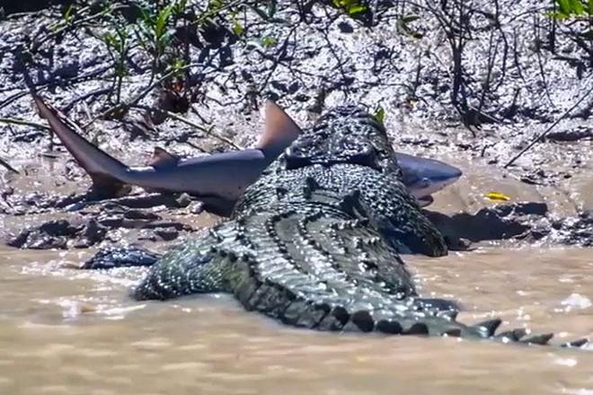 Clip: Hi hữu đi nhầm cửa sông, cá mập bị cá sấu xé thành từng mảnh - Ảnh 2.