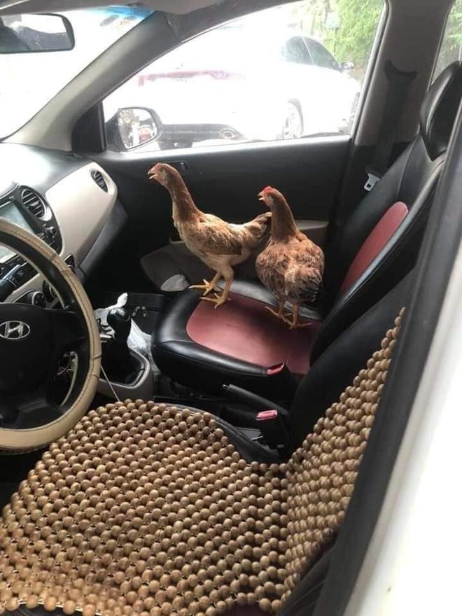 Cả đàn gà được ngồi trong ô tô điều hòa mát lạnh, sự chịu chơi của chủ xe khiến dân mạng kinh ngạc - Ảnh 2.