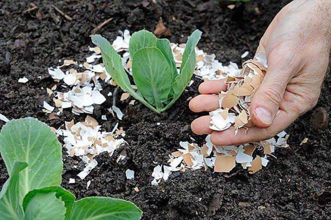 Chôn vỏ trứng và chuối xuống đất, hành động tưởng đơn giản nhưng lại giúp vườn cây của bạn tốt hơn rất nhiều - Ảnh 7.