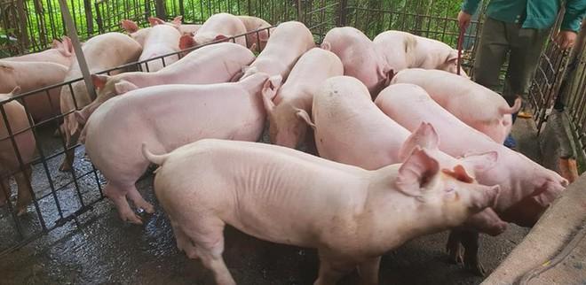 Giá lợn hơi ở Thái chỉ 55.000 đồng/kg, doanh nghiệp Việt xin nhập gấp 80 vạn con lợn sống về giết mổ - Ảnh 1.