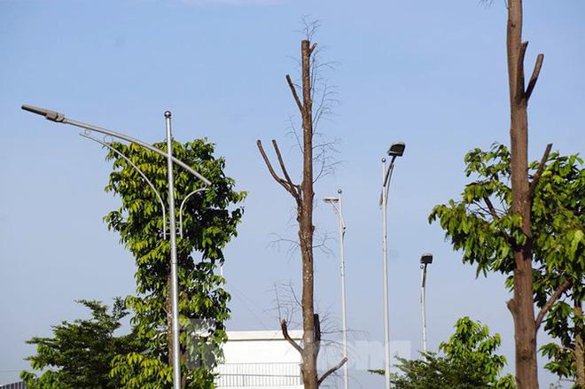 Hàng loạt cây xanh chết khô trên đường nghìn tỷ ở Hà Nội - Ảnh 12.