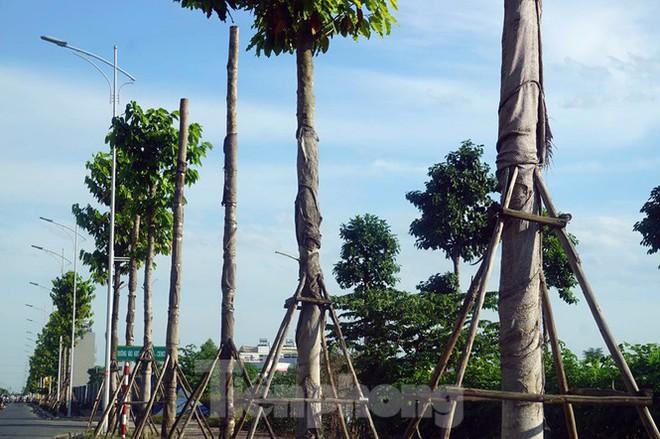 Hàng loạt cây xanh chết khô trên đường nghìn tỷ ở Hà Nội - Ảnh 3.