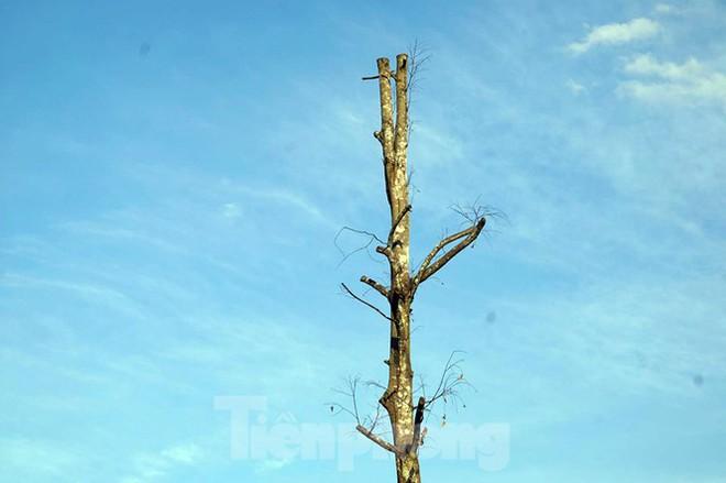 Hàng loạt cây xanh chết khô trên đường nghìn tỷ ở Hà Nội - Ảnh 7.