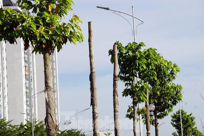 Hàng loạt cây xanh chết khô trên đường nghìn tỷ ở Hà Nội - Ảnh 10.