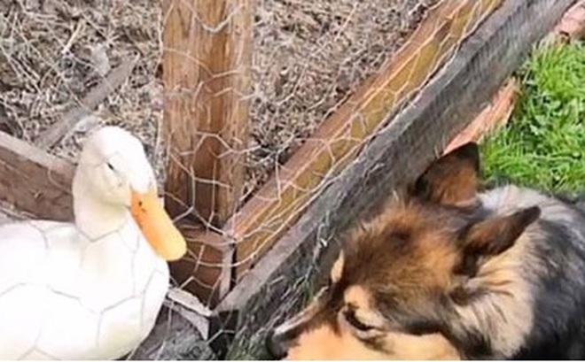 Video: Tan chảy trước tình bạn thân thiết giữa chó và vịt trắng
