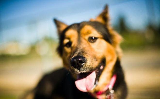 1001 thắc mắc: Điều gì giúp chó thính tai?