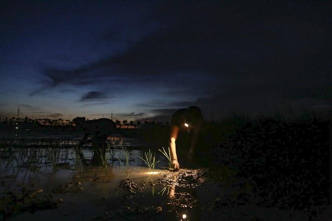 VIDEO: Xem nông dân Hà Nội đeo đèn pin cấy lúa từ hơn 3 giờ sáng  - Ảnh 4.