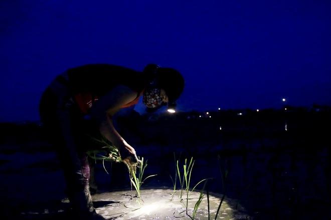 VIDEO: Xem nông dân Hà Nội đeo đèn pin cấy lúa từ hơn 3 giờ sáng  - Ảnh 3.