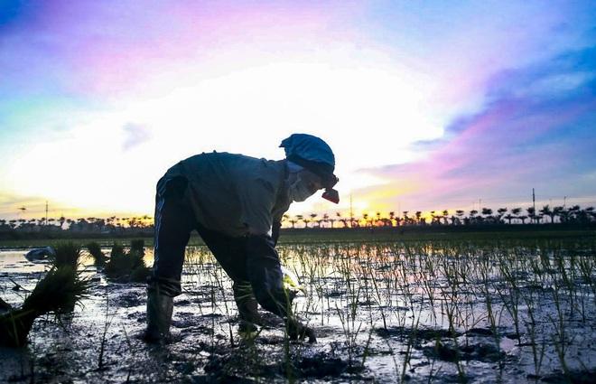 VIDEO: Xem nông dân Hà Nội đeo đèn pin cấy lúa từ hơn 3 giờ sáng  - Ảnh 7.