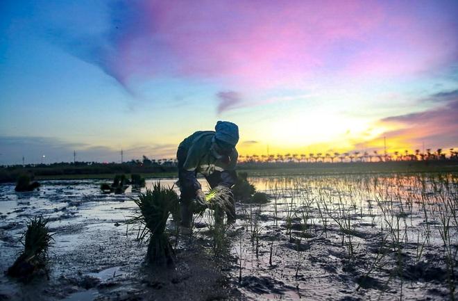 VIDEO: Xem nông dân Hà Nội đeo đèn pin cấy lúa từ hơn 3 giờ sáng  - Ảnh 5.