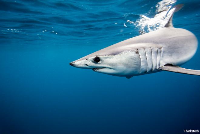 Cá mập mako được mệnh danh là sát thủ bơi nhanh với vận tốc lên tới 56km/h