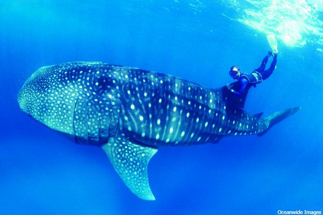 Loài cá lớn nhất thế giới là cá mập voi nặng tới vài chục tấn