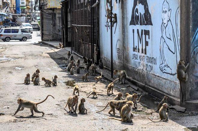 Khỉ nghiện sex khiến người dân sợ hãi trốn biệt trong nhà, rạp chiếu phim cũng bị chiếm đóng - Ảnh 2.