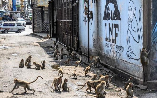 Khỉ nghiện sex khiến người dân sợ hãi trốn biệt trong nhà, rạp chiếu phim cũng bị chiếm đóng