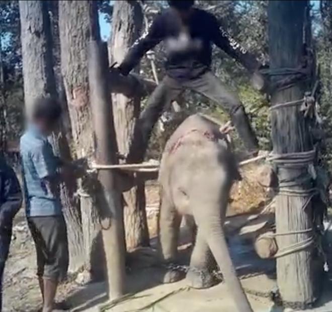 Đau lòng cảnh huấn luyện voi như địa ngục để chiều lòng du khách: Quá độc ác và tàn nhẫn! - Ảnh 2.