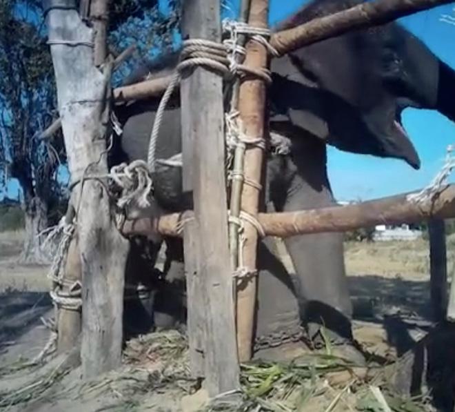 Đau lòng cảnh huấn luyện voi như địa ngục để chiều lòng du khách: Quá độc ác và tàn nhẫn! - Ảnh 3.