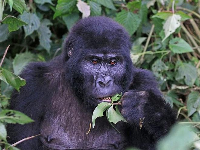 1001 thắc mắc: Những loài động vật nào có nguy cơ biến mất vĩnh viễn trên Trái Đất? - Ảnh 7.