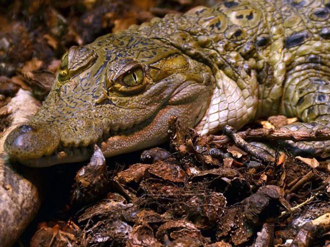 1001 thắc mắc: Những loài động vật nào có nguy cơ biến mất vĩnh viễn trên Trái Đất? - Ảnh 9.