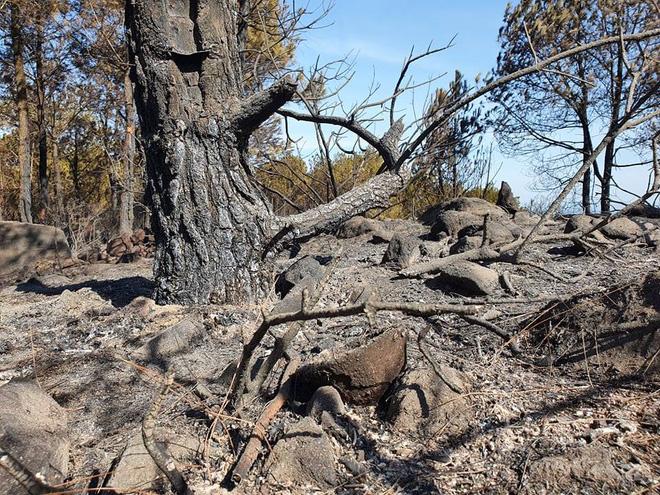 Cảnh hoang tàn ở cánh rừng thông già sau nhiều đợt cháy hoành hành những ngày qua - Ảnh 11.
