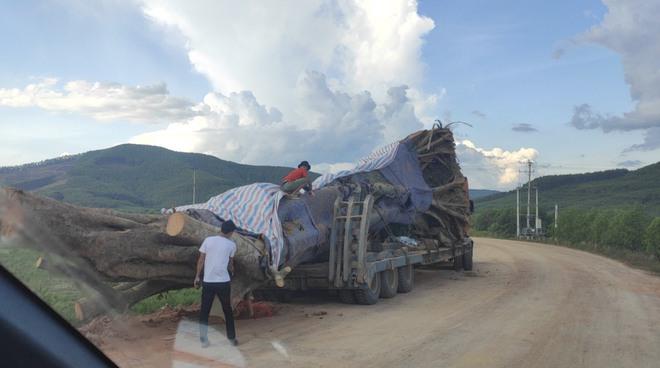 Xôn xao hình ảnh xe chở cây quái thú băng băng chạy trên đường ở Nghệ An - Ảnh 2.