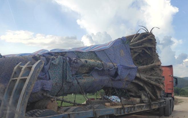 Xôn xao hình ảnh xe chở cây quái thú băng băng chạy trên đường ở Nghệ An - Ảnh 3.