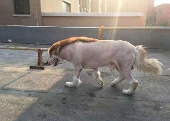 Nhờ bố trông hộ chó cưng, cô gái giật mình khi thấy bộ dạng mới của nó, dân mạng phì cười: Chắc bác trai thích nuôi một chú lừa - ảnh 5