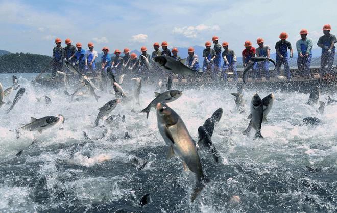 Trung Quốc: Đập thủy điện xả lũ, bội thu 25.000kg cá mè hoa - Ảnh 4.