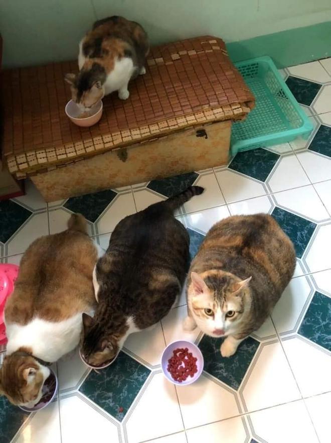 Đàn mèo mập ú na ú nần khiến dân tình phát sốt, lương tháng bao nhiêu cũng tình nguyện dành hết để nuôi cho béo - Ảnh 3.