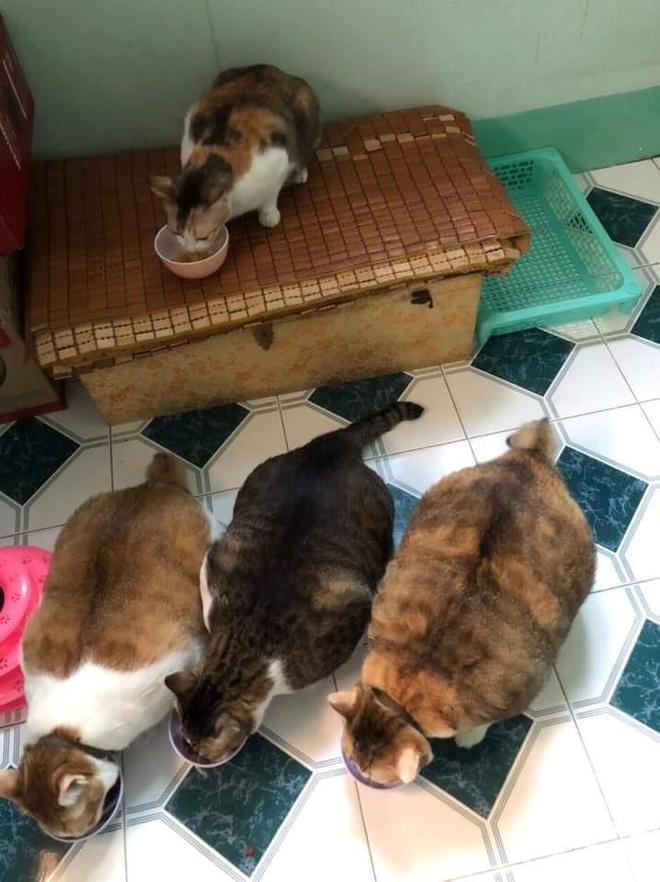 Đàn mèo mập ú na ú nần khiến dân tình phát sốt, lương tháng bao nhiêu cũng tình nguyện dành hết để nuôi cho béo - Ảnh 4.