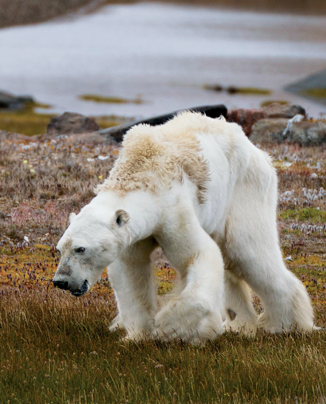 Tin cực xấu: Thời điểm gấu trắng Bắc Cực có thể tuyệt chủng hoàn toàn đã được xác định, và nó gần hơn chúng ta tưởng rất nhiều - Ảnh 2.