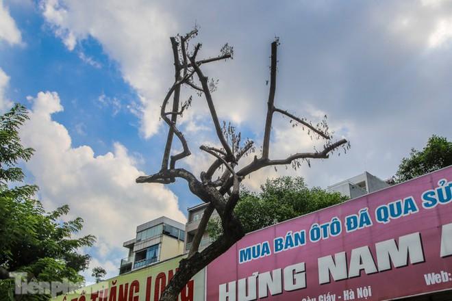 Nhiều cây sưa tiền tỷ trên đường phố Hà Nội dần chết khô trong bọc sắt - Ảnh 5.