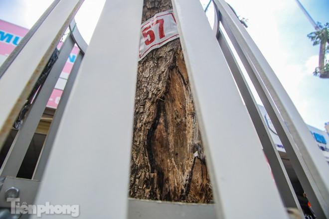 Nhiều cây sưa tiền tỷ trên đường phố Hà Nội dần chết khô trong bọc sắt - Ảnh 6.