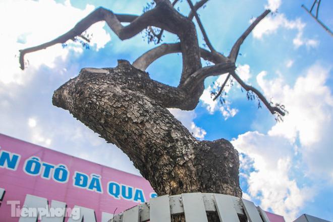 Nhiều cây sưa tiền tỷ trên đường phố Hà Nội dần chết khô trong bọc sắt - Ảnh 7.