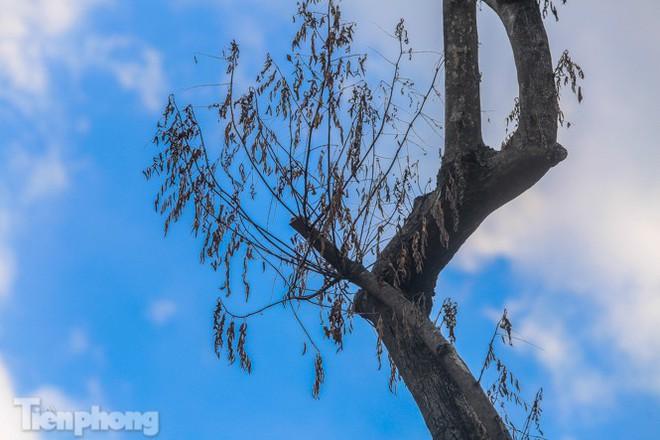 Nhiều cây sưa tiền tỷ trên đường phố Hà Nội dần chết khô trong bọc sắt - Ảnh 10.