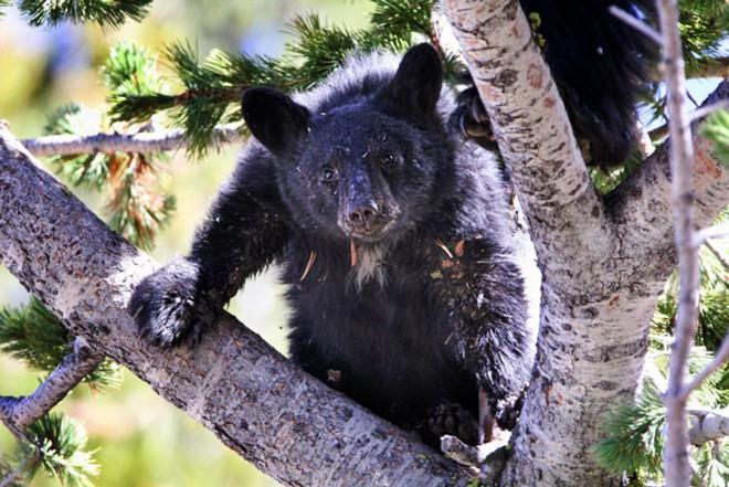 Vụ án độc nhất vô nhị: Gấu xám được Tòa án Hoa Kỳ cứu thoát ngay trước giờ nổ súng! - Ảnh 6.