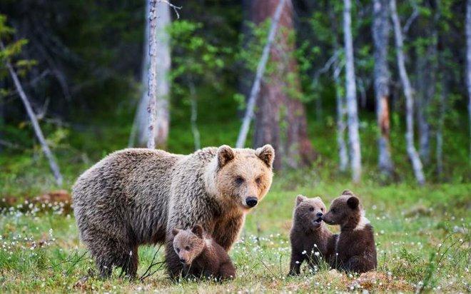 Vụ án độc nhất vô nhị: Gấu xám được Tòa án Hoa Kỳ cứu thoát ngay trước giờ nổ súng! - Ảnh 1.