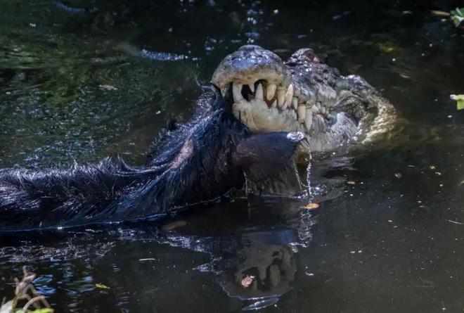 Con cá sấu ăn thịt lợn ở Darwin, Úc