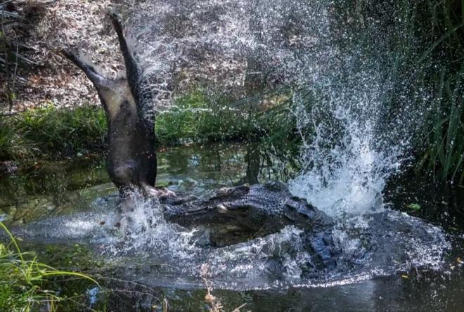 Britton - nhà động vật học, chuyên gia cá sấu - nuôi con cá sấu ở khu vườn sau nhà