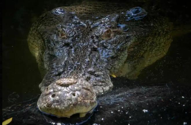 Đây là con cá sấu nước mặn trưởng thành nặng 500kg