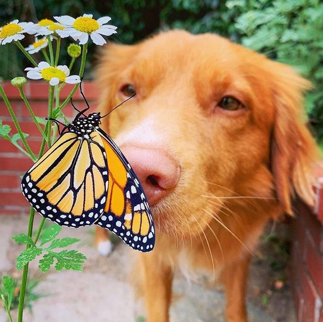 Hy hữu: Chú chó sở hữu tình bạn vô cùng đáng yêu với loài bướm vua, được gọi là vua bướm - Ảnh 3.