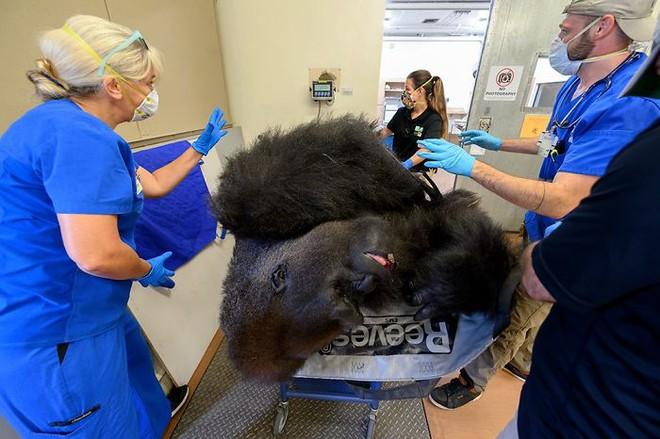 Hy hữu: Khỉ đột khổng lồ được chữa bệnh và làm cả xét nghiệm Covid-19 - Ảnh 1.