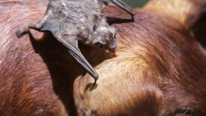Ma cà rồng của thế giới tự nhiên cũng biết cách ly để bảo vệ đồng loại - Ảnh 2.