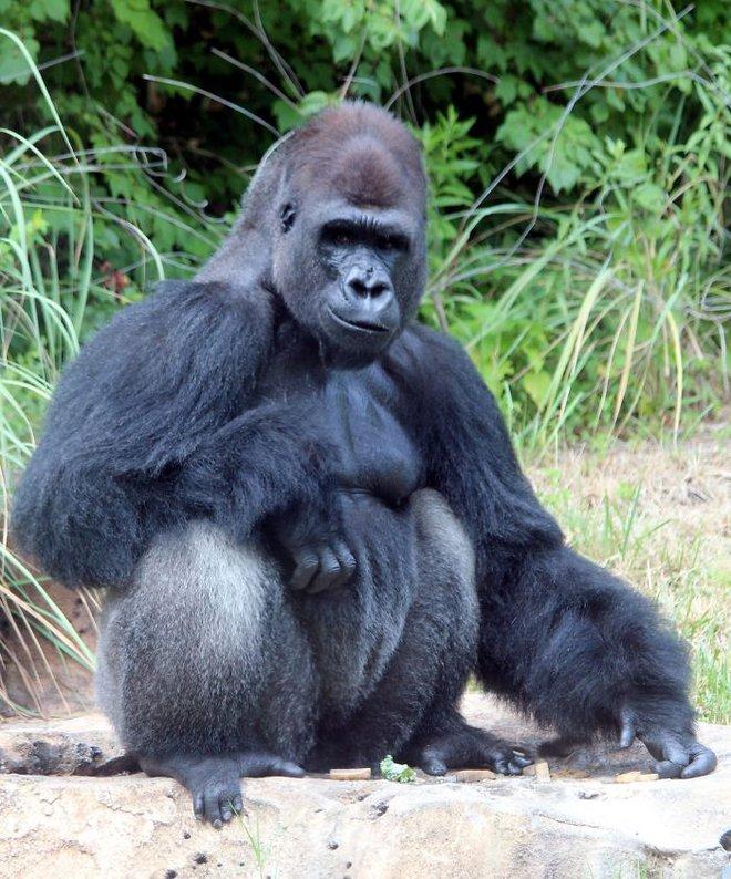 Hy hữu: Khỉ đột khổng lồ được chữa bệnh và làm cả xét nghiệm Covid-19 - Ảnh 12.