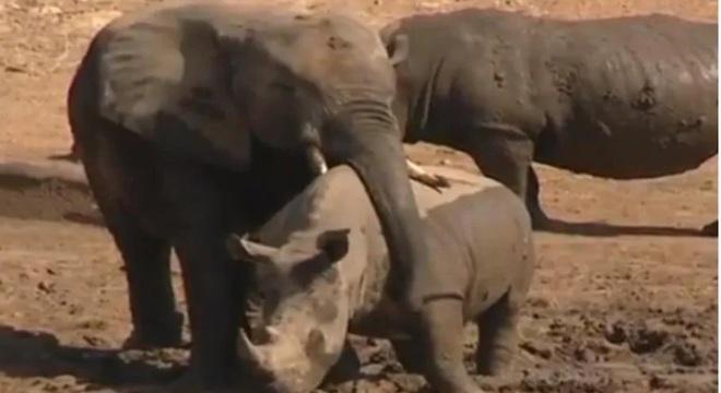 Khoảnk khắc tan chảy trong thế giới tự nhiên: voi ôm tê giác