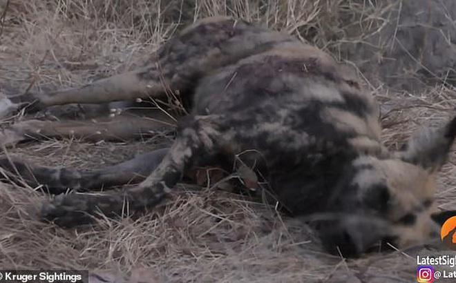 Chó hoang châu Phi giả chết để thoát khỏi móng vuốt sư tử